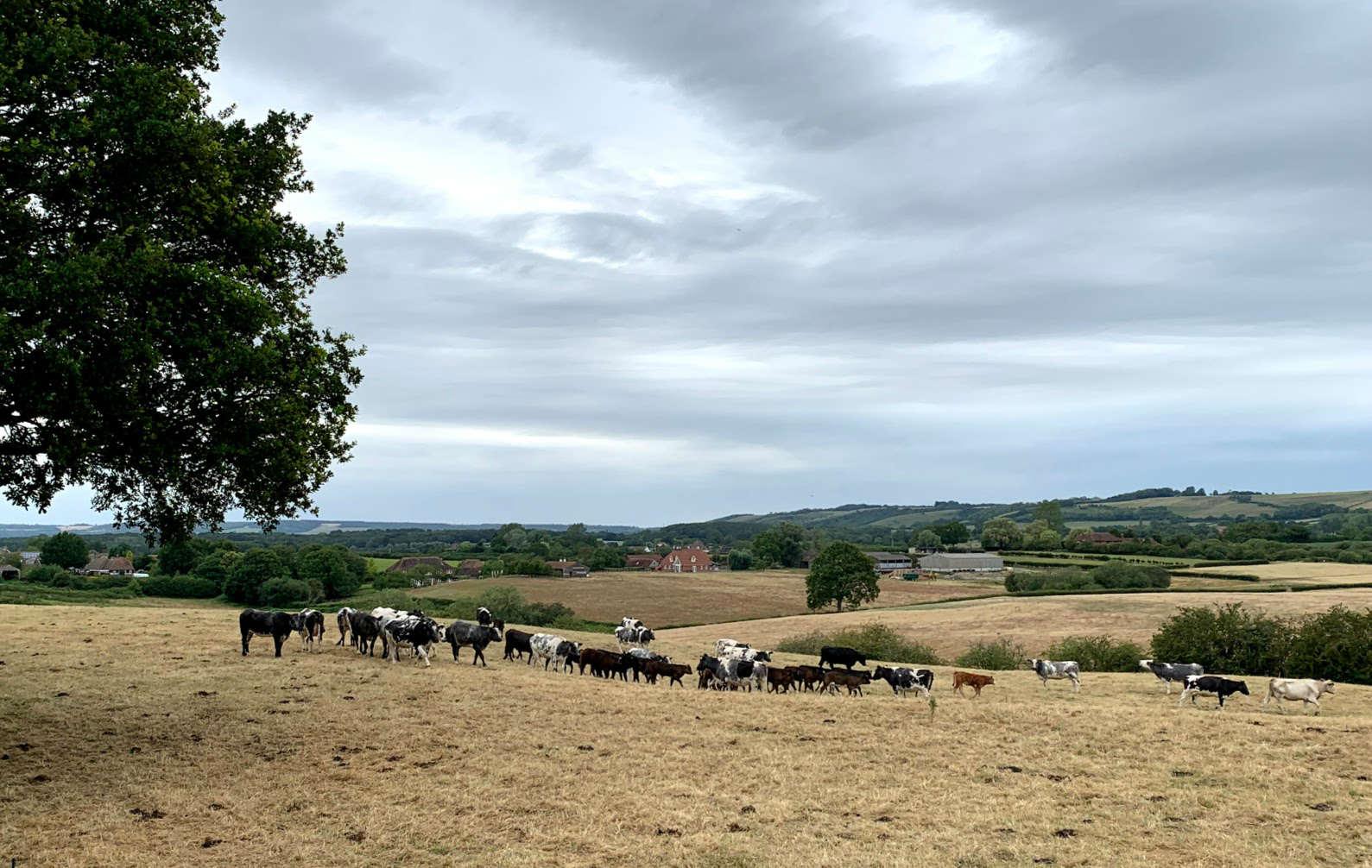Smeeth cows