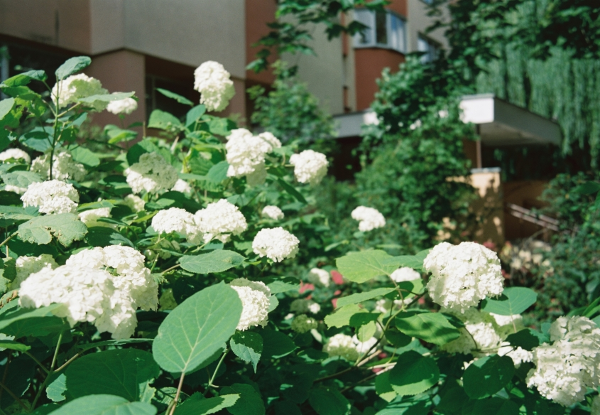 white Hydrangea flowers with green leaves