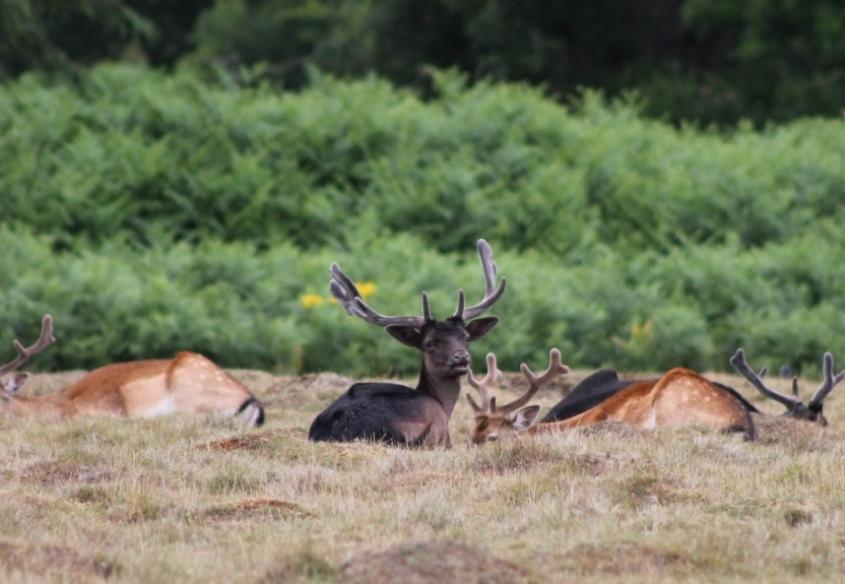 Deer in Hatch Park