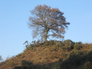 Oak Tree at Smeeth Sandpit
